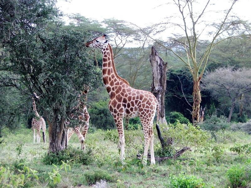 giraffe-661983_1280